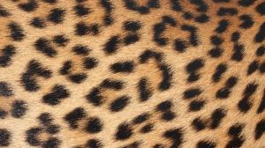 Leopard Natural - HD Wallpaper 1080p