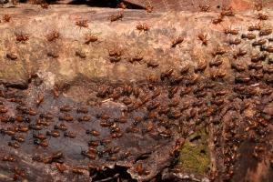Hospitalitermes sp - termites swarming