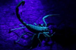 Lychas sp - under UV Light