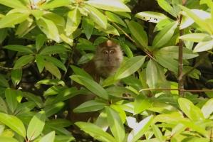 Macaca fascicularis