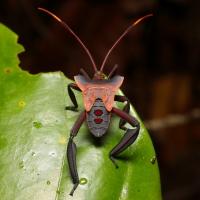 Prionolomia sp - Leaf-Footed Bug