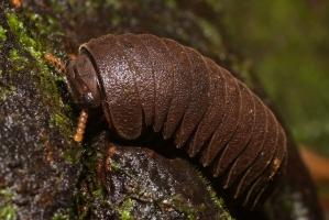 Sphaerotheriidae - Pill Millipede