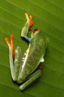 Agalychnis callidryas