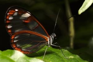 Butterfly - Monteverde