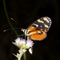 Butterfly - Rio Blanco