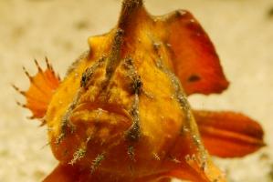 Antennarius biocellatus