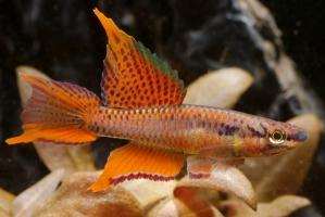 Aphyosemion bitaeniatum - Lagos Red
