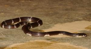 Bungarus ceylonicus