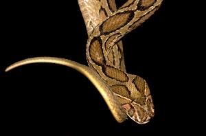 Daboia russelii