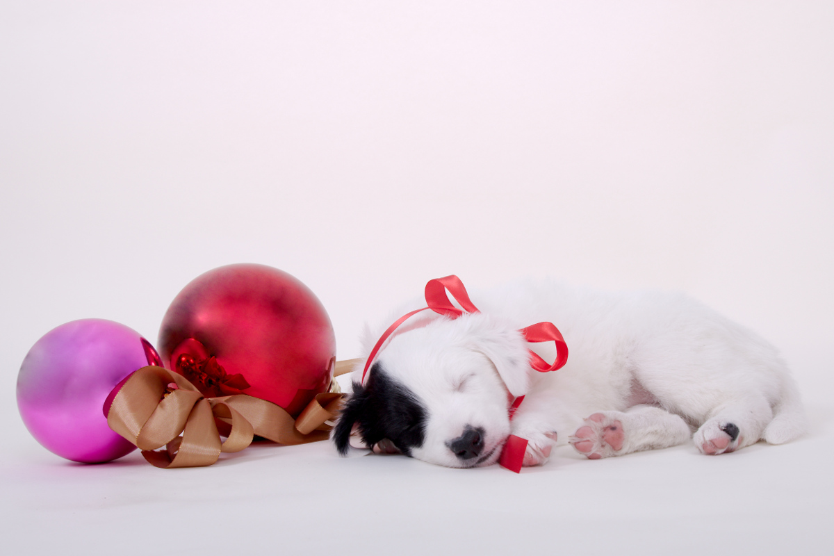 christmas picture of border collie puppy