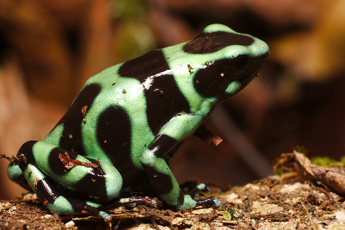 poison dart frog wild i costa rica rainforest