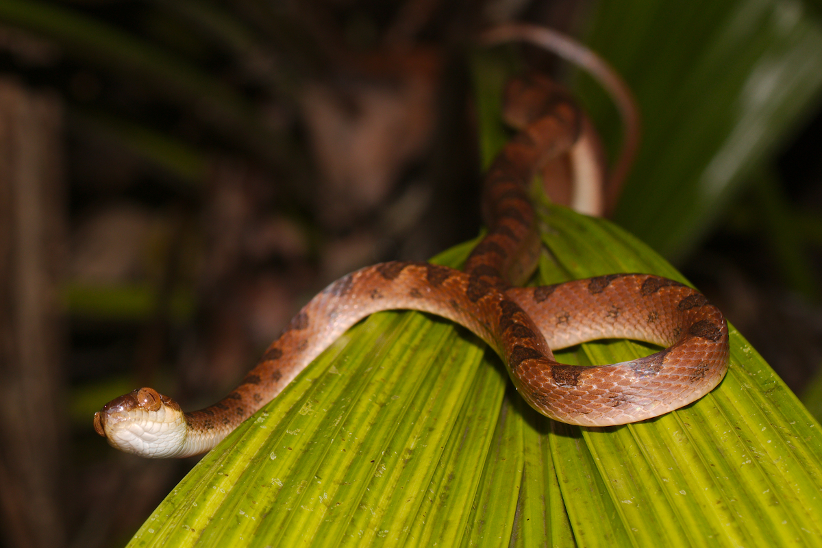 cat-eye snake photo by Dan Olsen