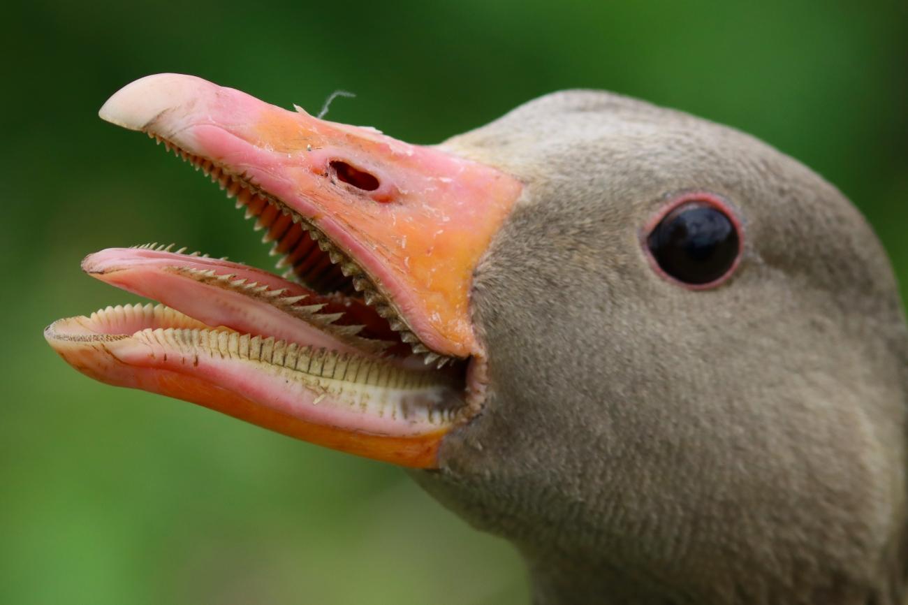 Anser anser - Angry goose