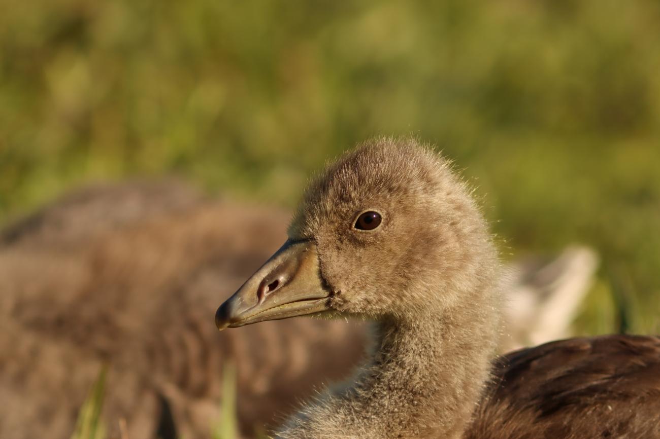 Anser anser - gosling