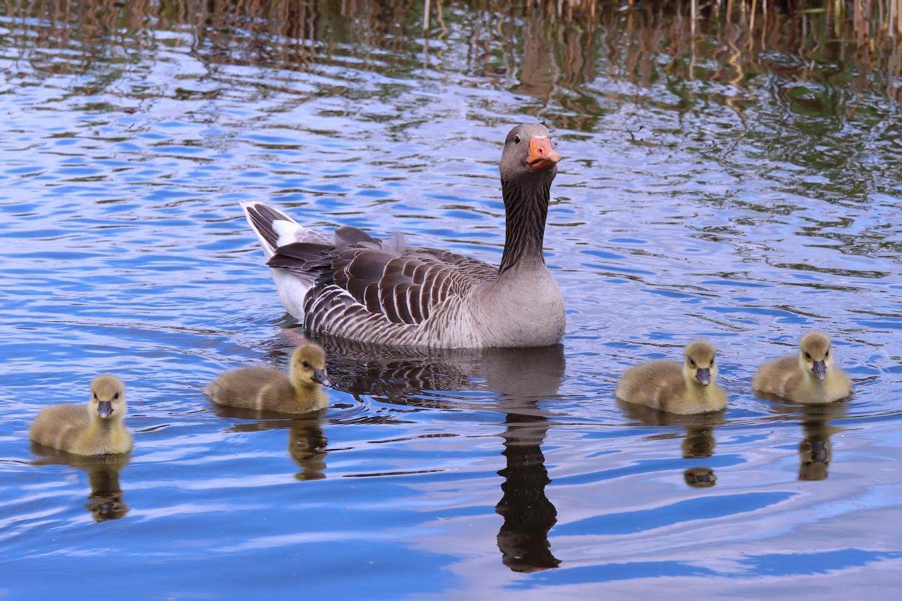 Anser anser with goslings