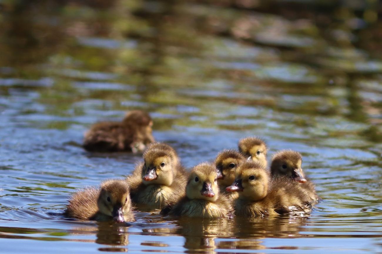 Aythya ferina - Ducklings