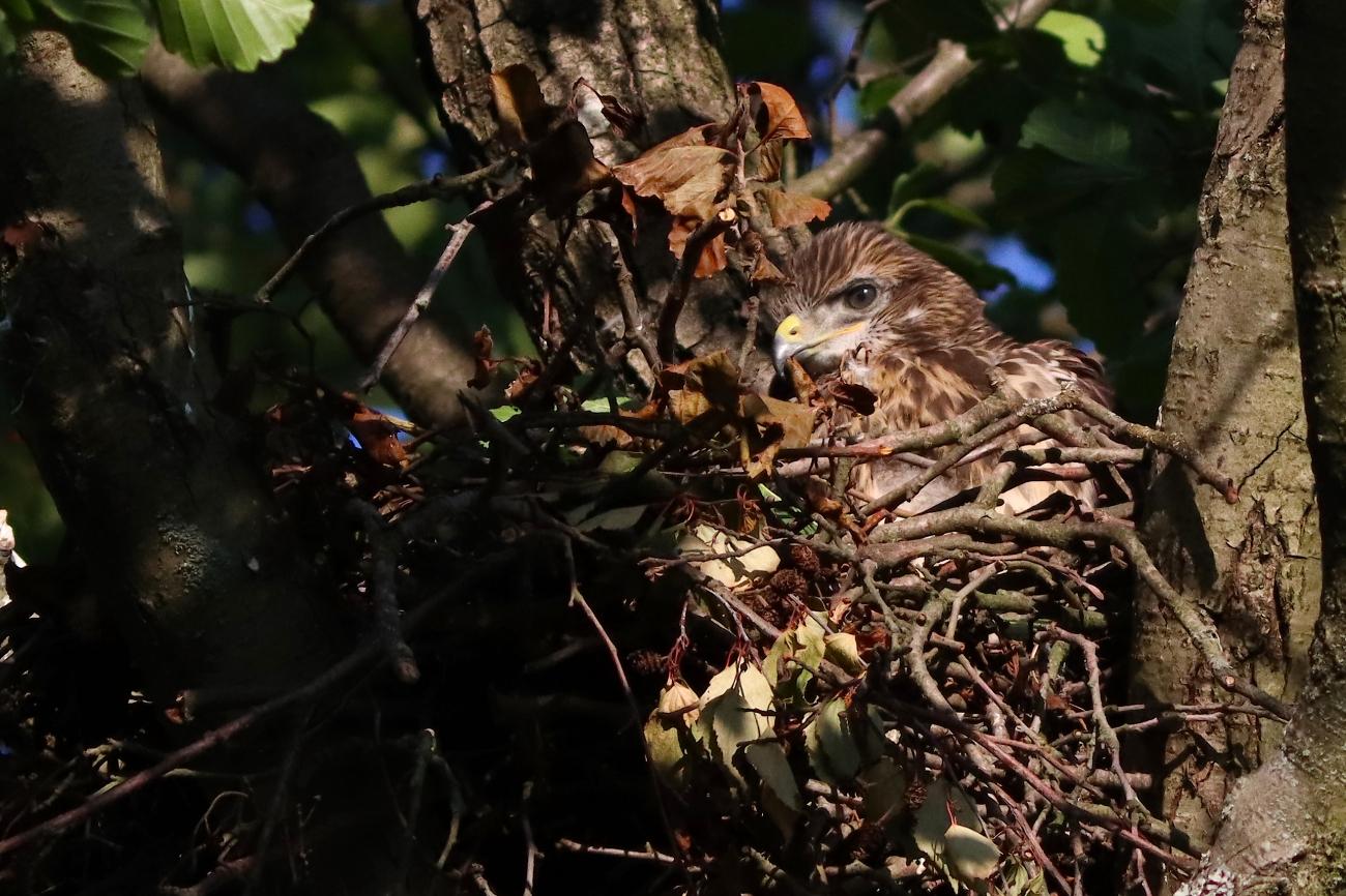 Buteo buteo - Chick in nest