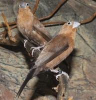Euodice malabarica