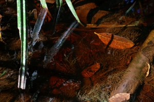 Betta brownorum habitat