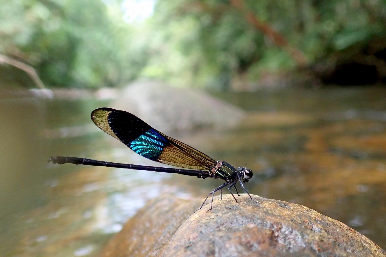 Euphaea tricolor