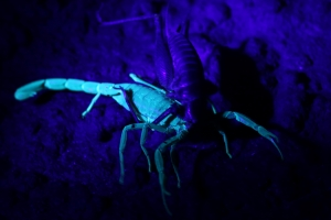 Lychas sp - under UV Light