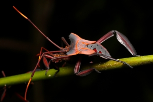 Prionolomia sp - Leaf-Footed Bug