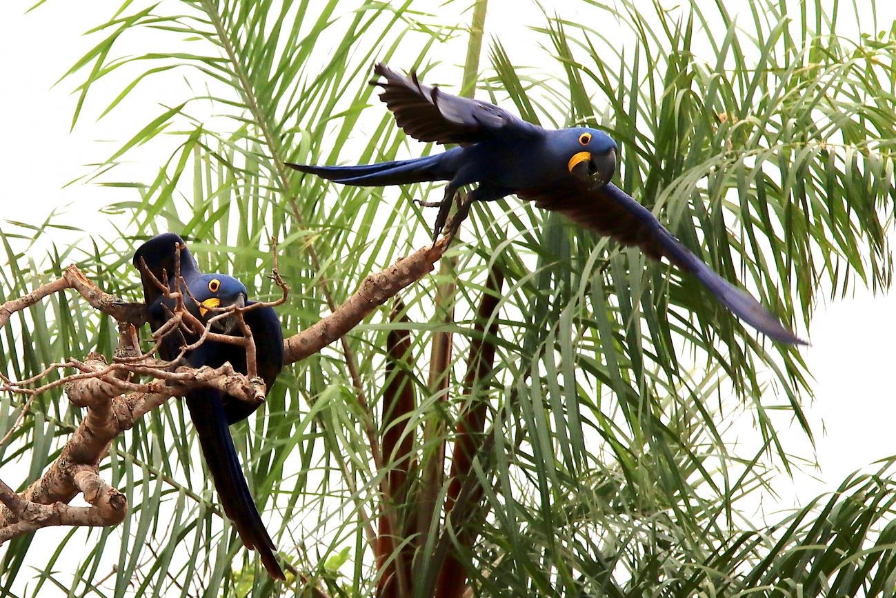 Anodorhynchus hyacinthinus