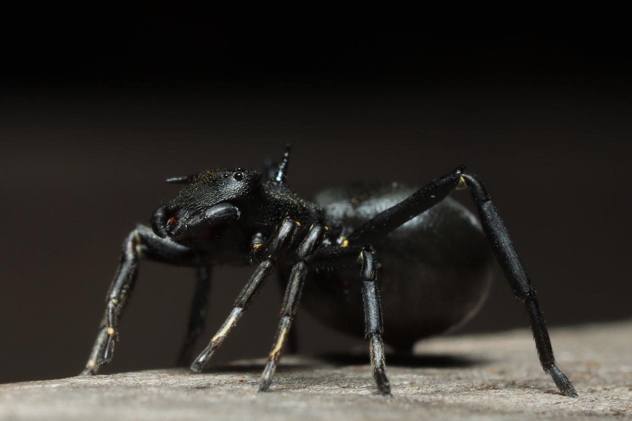 Aphantochilus rogersi
