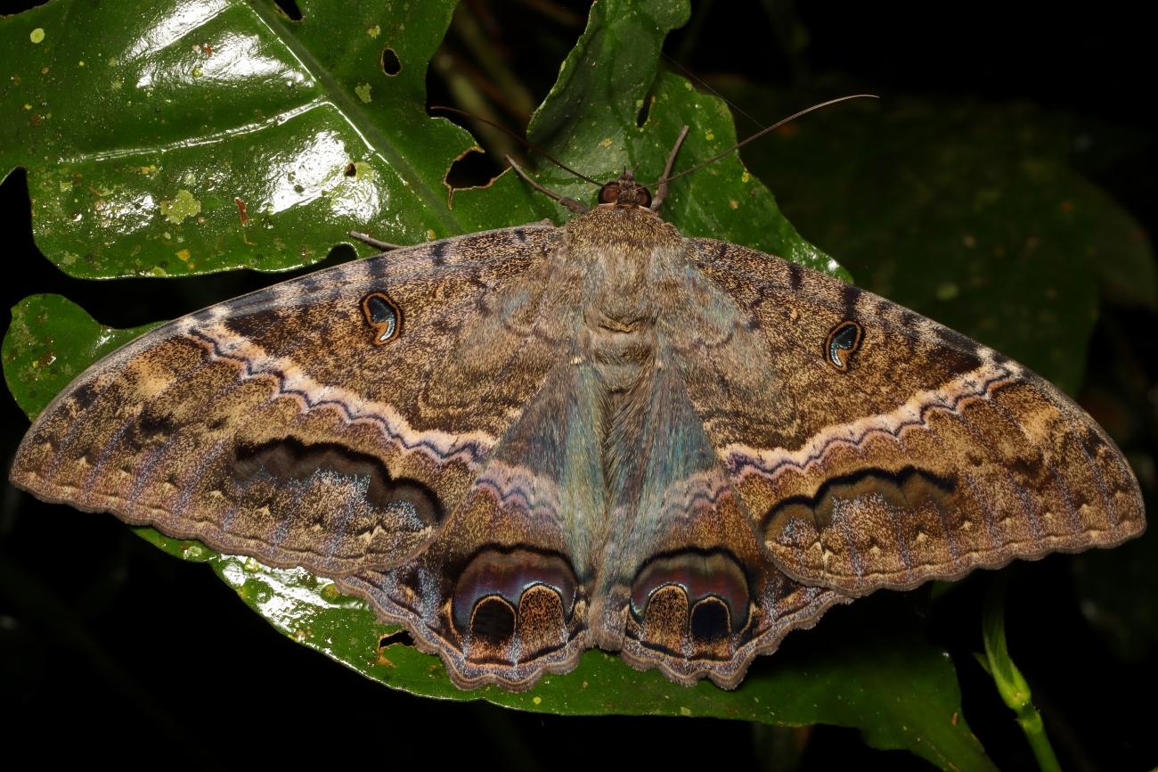 Ascalapha odorata