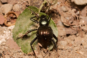 Beetle - Arenal