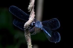 Dragonfly - Boca Tadapa