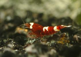 Caridina cantonensis sp