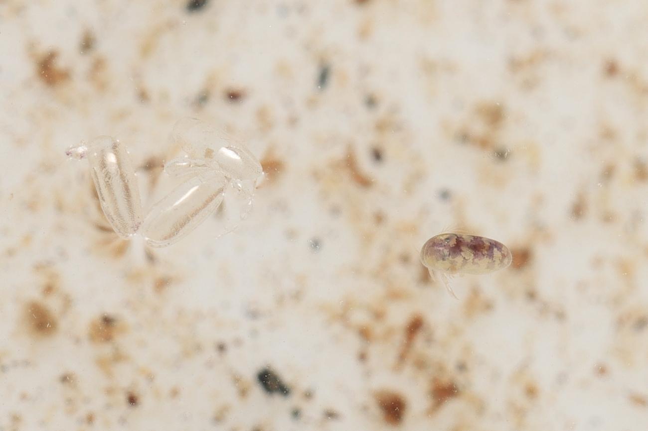 Cypridopsis vidua