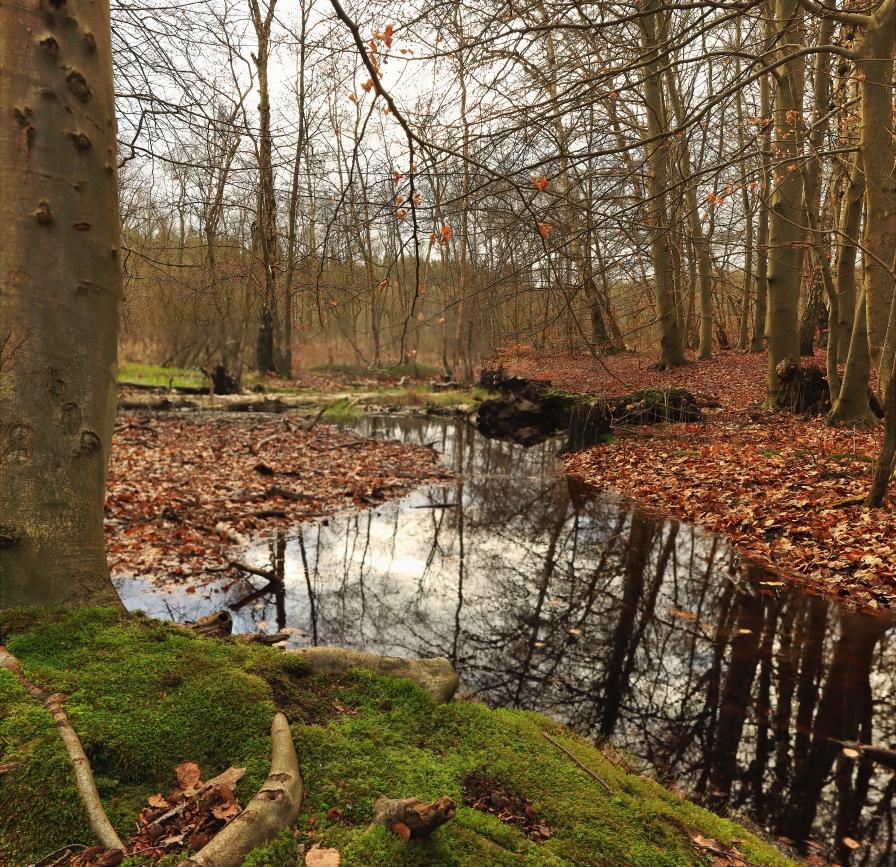 European Beech Forest at winter
