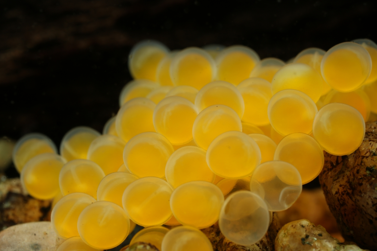 Ancistrus sp. eggs