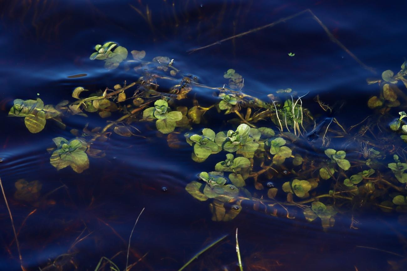 Mentha aquatica