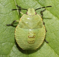 Acanthosoma haemorrhoidale