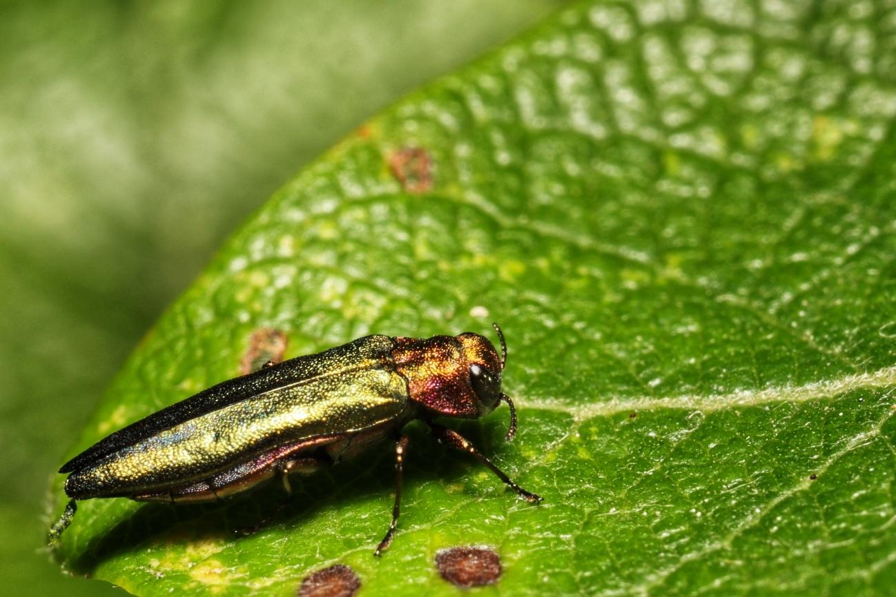 Agrilus viridis