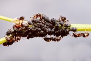 Aphis craccivora & Lasius niger