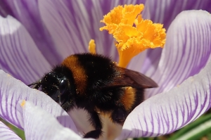 Bombus hortorum and Crocus vernus