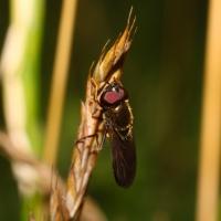 Cheilosia albipila