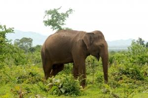 Elephas maximus maximus