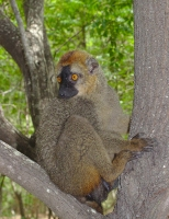Eulemur rufifrons