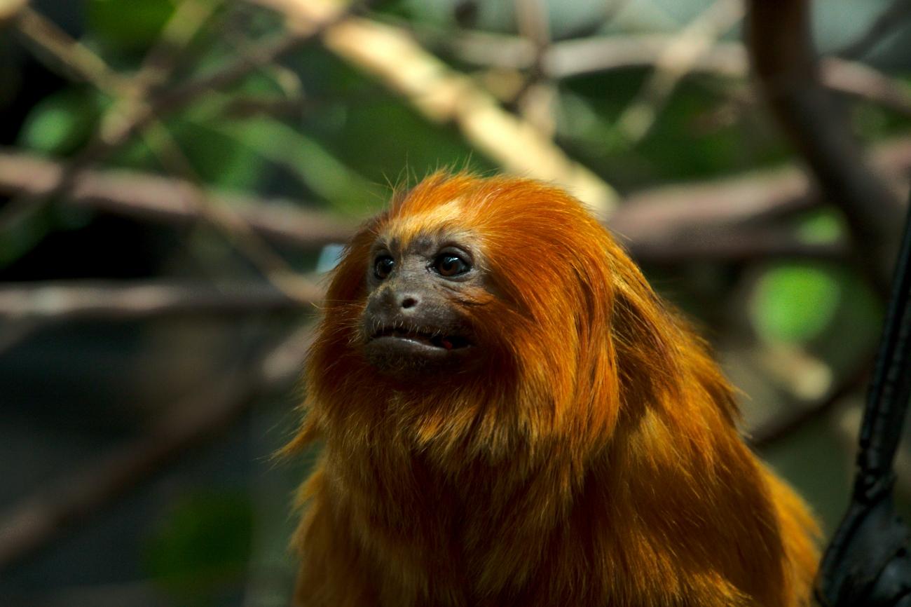 Leontopithecus rosalia