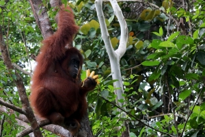 Pongo pygmaeus
