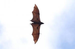 Pteropus giganteus