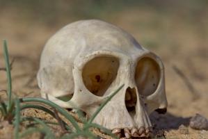 Semnopithecus priam - Skull