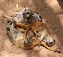 Suricata suricatta