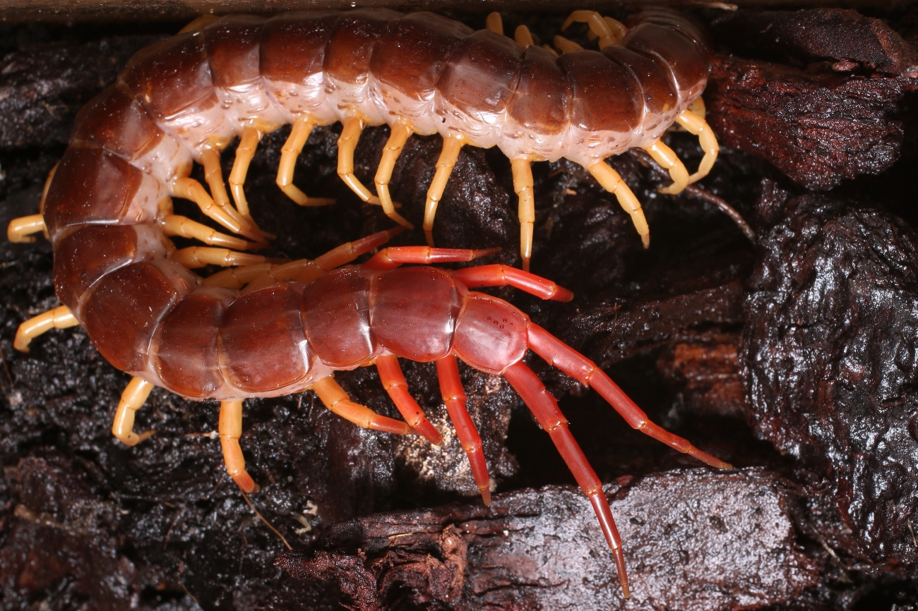Scolopendra subspinipes ssp. dehaani