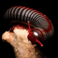 Tonkinbolus dollfusi